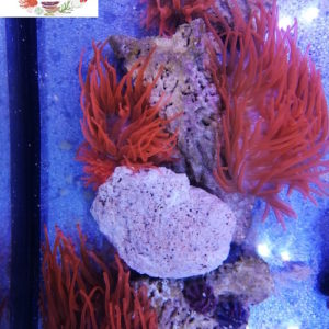 red bubble tip anemone's