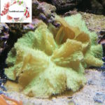 Green Cabbage Coral Frags Sinularia sp.