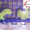 Fluorescent Neon/Toxic Green Cabbage Coral Frags Sinularia sp.
