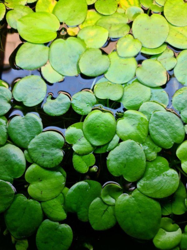 Amazon Frogbit Limnobium laevigatum Live Aquarium Floating Plants Looks Great!